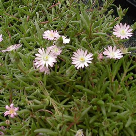 "delosperma ""beaufort west"""
