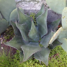"agave ""la escondida"" nov 2011"