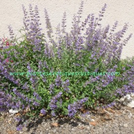 Nepeta Faassenii Six Hill Giant