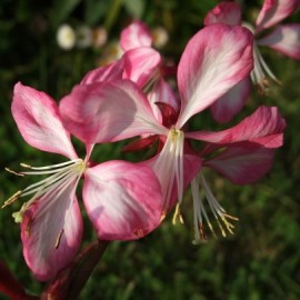 "Gaura ""Cherry Brandy"""