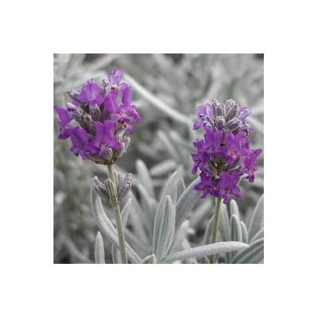 "lavandula ""Richard Gray"""