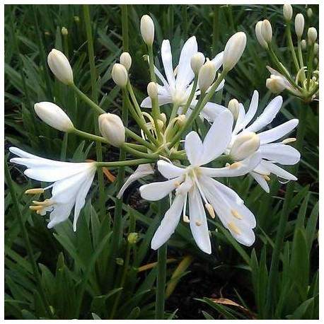Agapanthus 'Kilmurry White'