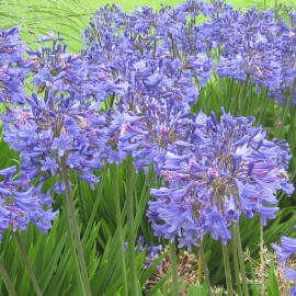 Agapanthus Headbourne Blue