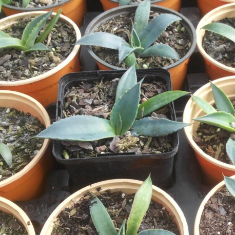 Agave parryi 'Mimbres'