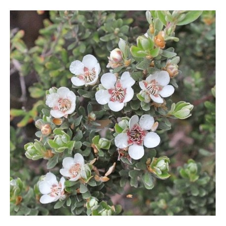 "Leptospermum Lanigerum ""Silver Sheen"""