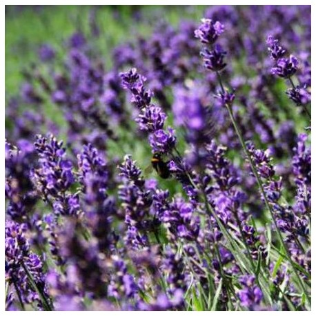 "lavandula angustifolia ""Essence purple"" ®"