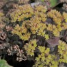 Sedum yellow xenox ®