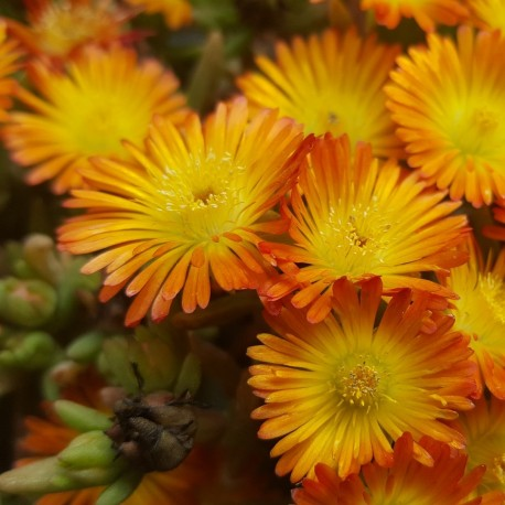 Delosperma Orange wonder ®