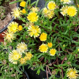 Delosperma Rainbow Day Dream