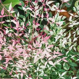 "Nandina ""Twilight"""
