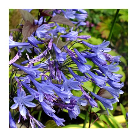 Agapanthus 'Blue Triomphator'