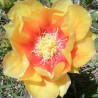Opuntia Monarch Gold