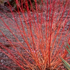 "Cornus sanguinea ""Midwinter fire"""